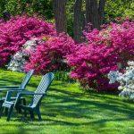 Skötsel av rhododendron